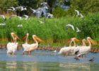 пеликаны в дунайских плавнях